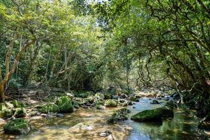 西表島のジャングルの写真素材 [FYI04117934]