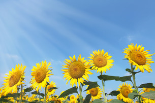 太陽の光の美しいひまわり畑の写真素材 [FYI04118320]
