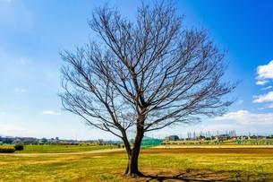 多摩川河川敷、原っぱの一本木の写真素材 [FYI04118364]