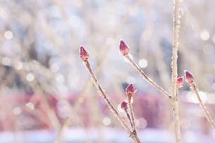 木漏れ日が雪解けの水に反射してキラキラ玉ボケで光る様子。冬の公園での枝とピンク色の芽。の写真素材 [FYI04118487]