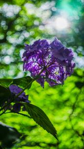 深緑の葉の間を通る木漏れ日が穏やかな時間。紫色の紫陽花を見上げるの写真素材 [FYI04118495]