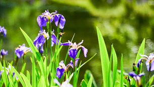 紫が美しい日本的な花、あやめが咲く湿性地帯の写真素材 [FYI04118497]