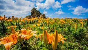 初夏に濃いオレンジ色の花が力強く海辺に咲く、岩ゆりの写真素材 [FYI04118499]