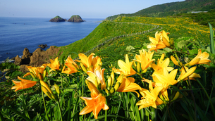 5月下旬から6月上旬に新潟県佐渡島の大野亀に咲く黄色いトビシマカンゾウの写真素材 [FYI04118502]