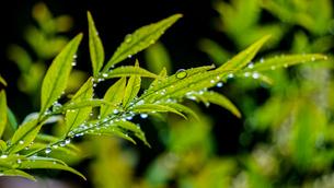 雨上がりの新芽に雨粒がたまって連なり、太陽の光がをあびて美しい春の風景の写真素材 [FYI04118503]