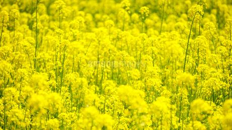 一面の菜の花の写真素材 [FYI04118508]
