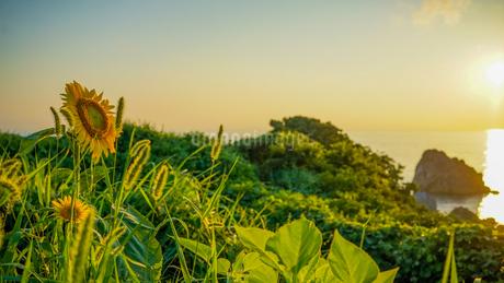 海辺のひまわり畑に咲く黄金色したひまわりの写真素材 [FYI04118554]