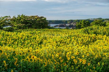 尖閣湾や断崖絶壁の絶景を見渡す佐渡島の小川にあるひまわり畑の写真素材 [FYI04118563]