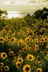 黄金の島、佐渡の小川という地域に咲くひまわりが夕陽を浴びて金色に光るの写真素材 [FYI04118564]
