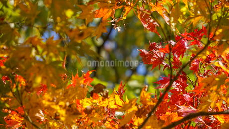 赤いモミジが額縁のようにぐるりと円を描くような紅葉の風景の写真素材 [FYI04118577]