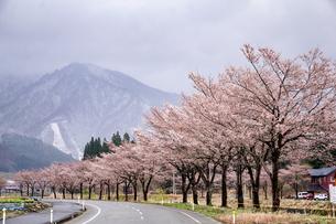 雪国湯沢の道路、雪山と桜並木の写真素材 [FYI04118595]