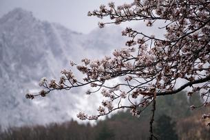 晩冬と早春の間、冠雪の山々と桜、ソメイヨシノ。の写真素材 [FYI04118596]