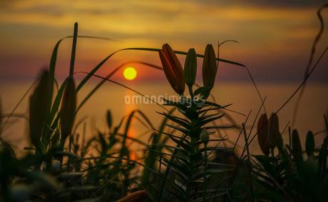 日本海に落ちる夕陽が美しい佐渡島に咲く、初夏を告げる岩ユリのシルエットの写真素材 [FYI04118627]