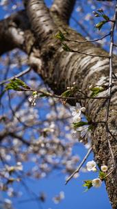 青空に淡い薄ピンクの花を咲かせるソメイヨシノと木の幹の写真素材 [FYI04118631]