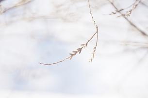 ねこやなぎの写真素材 [FYI04118742]