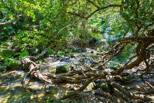 西表島のジャングルの写真素材 [FYI04118745]