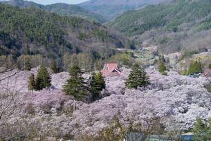 高遠城址公園の桜の写真素材 [FYI04118805]
