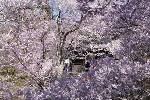 高遠城址公園の桜の写真素材 [FYI04118806]