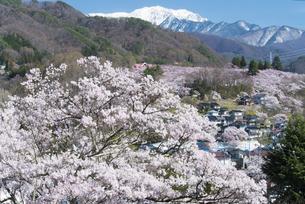 高遠城址公園の桜と南アルプスの写真素材 [FYI04118822]