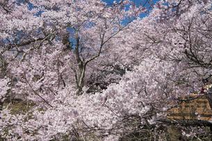 高遠城址公園の桜の写真素材 [FYI04118826]
