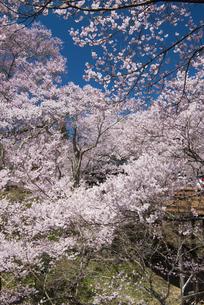 高遠城址公園の桜の写真素材 [FYI04118828]