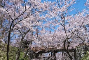 高遠城址公園の桜の写真素材 [FYI04118830]
