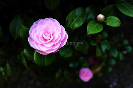 乙女椿の花の写真素材 [FYI04119046]