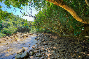 西表島のジャングルの写真素材 [FYI04119479]