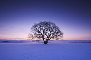 ハルニレの木の朝の写真素材 [FYI04119497]
