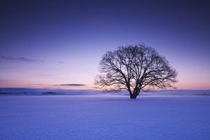 ハルニレの木の朝の写真素材 [FYI04119498]