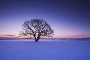 ハルニレの木の朝の写真素材 [FYI04119499]