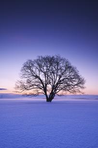 ハルニレの木の朝の写真素材 [FYI04119501]