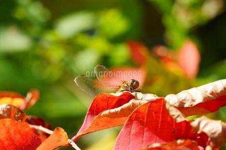 色づいた葉で羽を休めるトンボの写真素材 [FYI04119530]