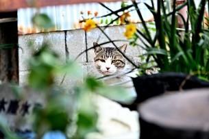 ネコの写真素材 [FYI04119562]