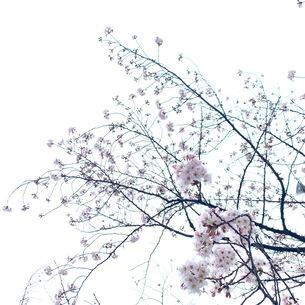桜の写真素材 [FYI04119662]