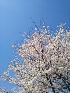 桜の写真素材 [FYI04119677]