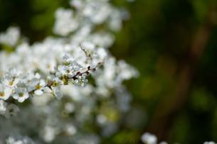 桜の花の写真素材 [FYI04119712]