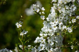 桜の花の写真素材 [FYI04119713]