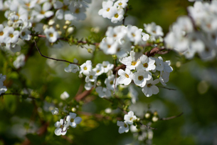 桜の花の写真素材 [FYI04119714]