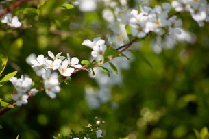 桜の写真素材 [FYI04119715]