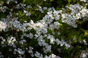桜の写真素材 [FYI04119716]
