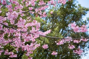 ピンク色の桜の写真素材 [FYI04119720]