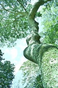 見上げた大木の写真素材 [FYI04119735]