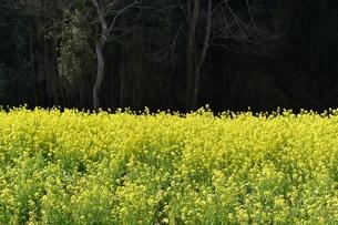 菜の花畑の写真素材 [FYI04119739]