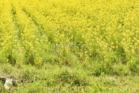 菜の花畑の写真素材 [FYI04119743]