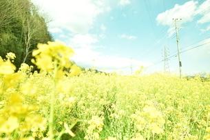菜の花畑と青空の写真素材 [FYI04119750]