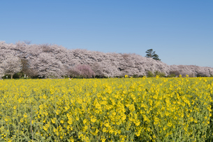 権現堂堤の桜並木の写真素材 [FYI04119855]