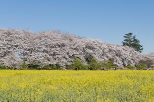 権現堂堤の桜並木の写真素材 [FYI04119857]