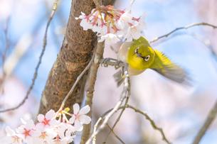桜の木にとまって羽ばたくメジロの写真素材 [FYI04119882]