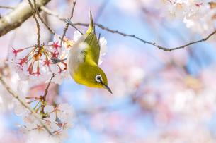 桜の木にとまって下の方を向いているメジロの写真素材 [FYI04119884]
